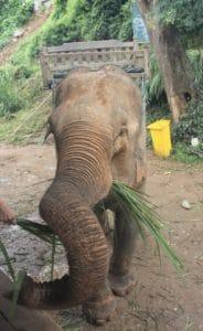 Éléphant laotien
